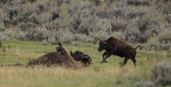 Bison Bronc