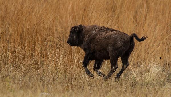 Bison Gallop