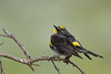 Audubon's Warbler, a subspecies of the Yellow-rumped Warbler.