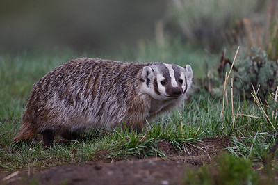 American Badger, Lamar Valley
