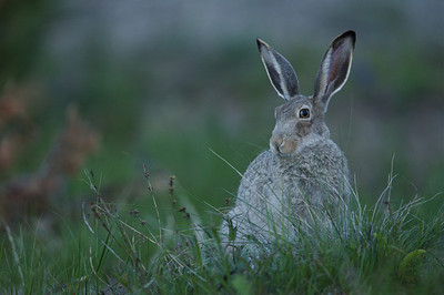 White-tailed Jackrabbit, difficult to find within Yellowstone Park's boundaries.