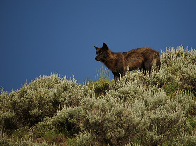 The Alpha Male of the late Druid Peak pack.  The entire pack died of the mange during the 2011-2012 winter.