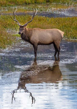 Older Male Elk