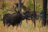 Mature Bull Moose, near Petrified Tree