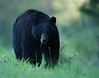Yellowstone Black Bear, near Roosevelt Junction