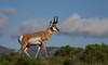 Pronghorn in habitat, lower Lamar Valley