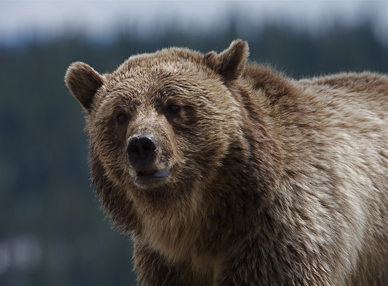 Grizzly Bear, Dunraven Pass