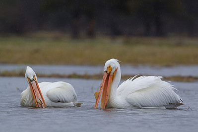 American White Pelican (Pelecanus erythrorhynchos), photographed at . . . where else? . . . Pelican Valley.