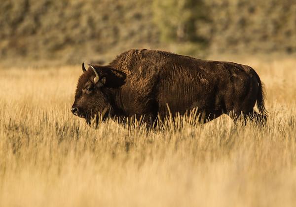 Bison Strides