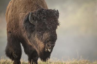 Bison Bellow