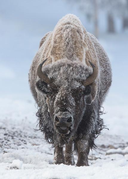 584_Yellowstone_01172017