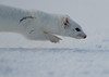 Long Tailed Weasel - white phase