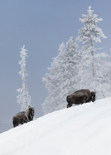 639_Yellowstone_01152017