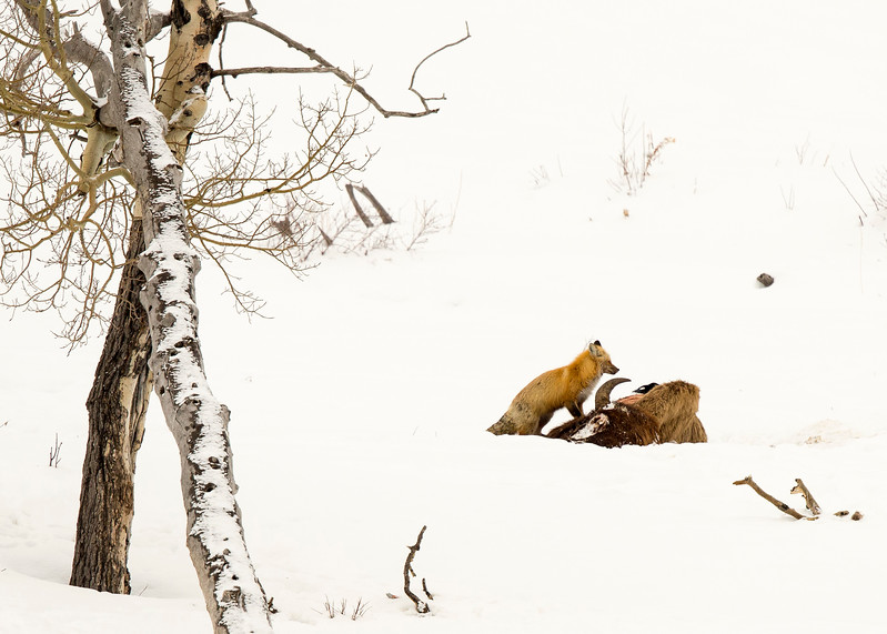 Red Fox on bison carcus