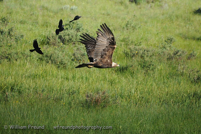 Golden Eagle under attack!  Yellowstone National Park.