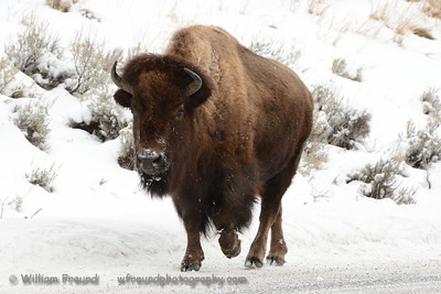 A beautiful bison using the road to travel during winter.