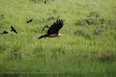 Golden Eagle being chased off by some very angry birds.  Yellowstone National Park.