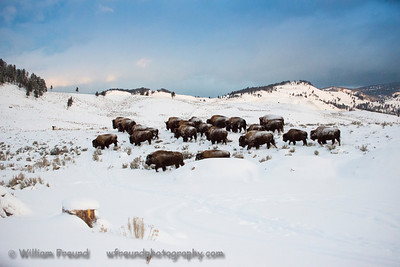 A bison herd in beautiful Yellowstone National Park.