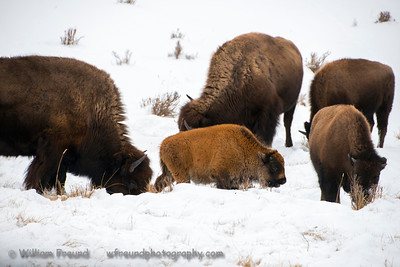 Baby bison!  Tough time of year to be born but he should make it!  Notice how red his coat is compared to the other bison.