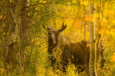 A bull moose snacks on foliage in the woods of Grand Teton National Park