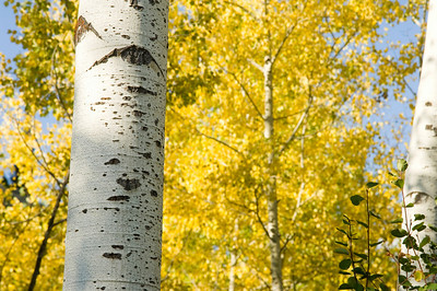 Yellow leaves and the white trunks of aspen trees in Grand Teton National Park