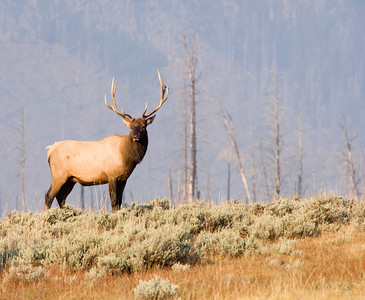 A bull elk stands on a hill in Yellowstone National Park with mountains in the distance.