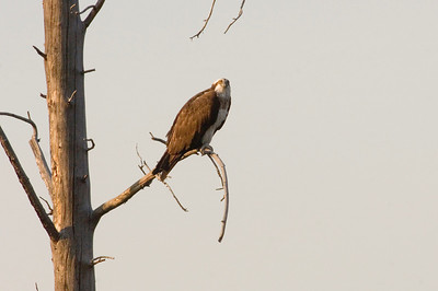 An osprey sits in a dead tree in Yellowstone National Park