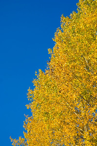The yellow leaves of an aspen stand out against a blue sky in Grand Teton National Park