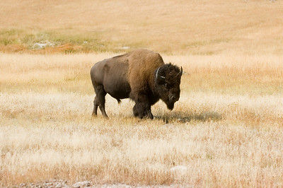 An American bison makes its way through a meadow in a fall afternoon in Yellowstone National Park