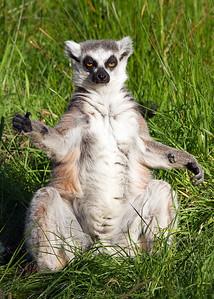 Lemur7