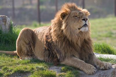 Lion10