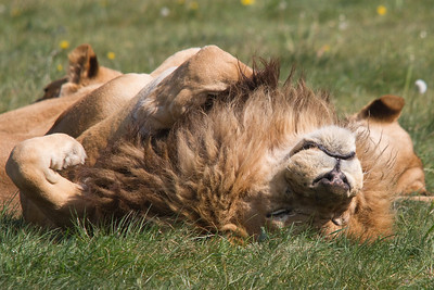LionGreeting1