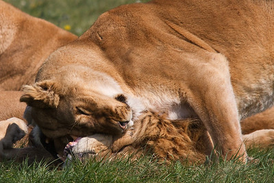 LionGreeting6