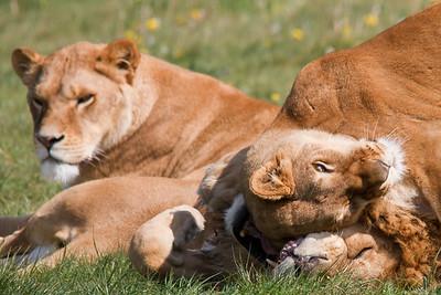 LionGreeting5