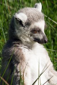 Lemur8