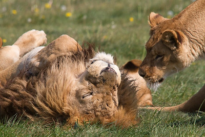 LionGreeting3