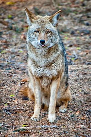 Yosemite Park Coyote