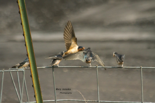 The parent flies in and feeds the babies, who have their beaks open.