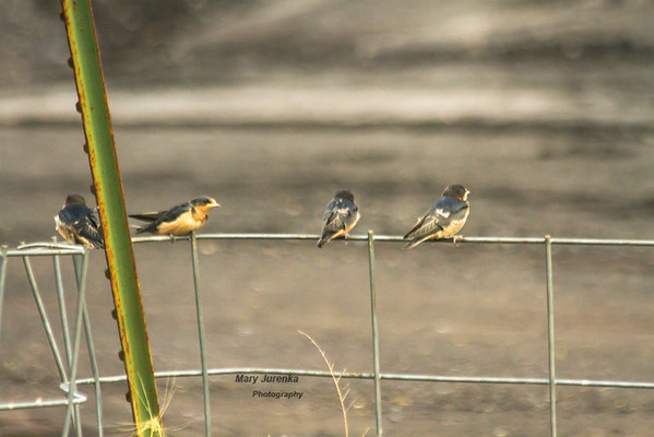 The adult flies away and the young swallows settle down and wait.