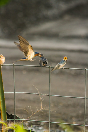 Young Barn Swallows Being Fed