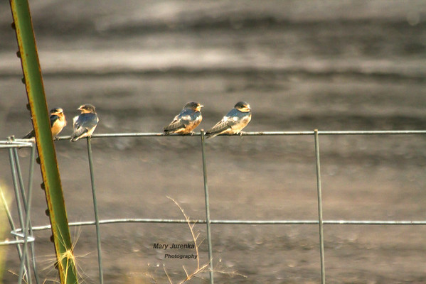 These young barn swallows are waiting for their parents to fly in with dinner-juicy bugs!