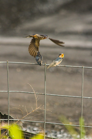 One swallow is fed while another opens its mouth and demands to be fed.