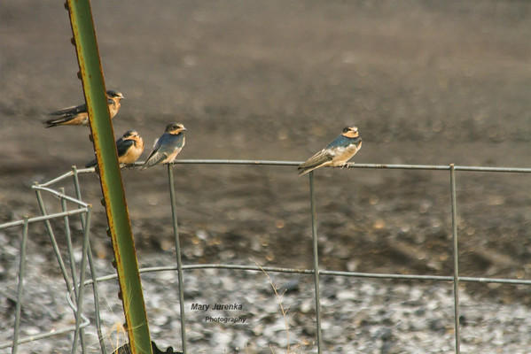 Young Barn Swallows Waiting for Meal