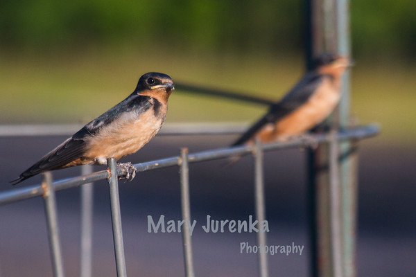 Barn Swallows perch on  a  fence in Brookside Park.