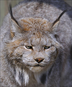 The Lynx