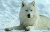 White Wolfe