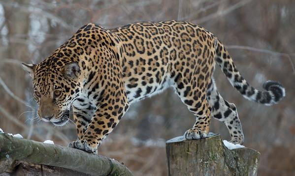 Jaguar in the canopy