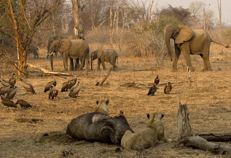 Lion kill scene