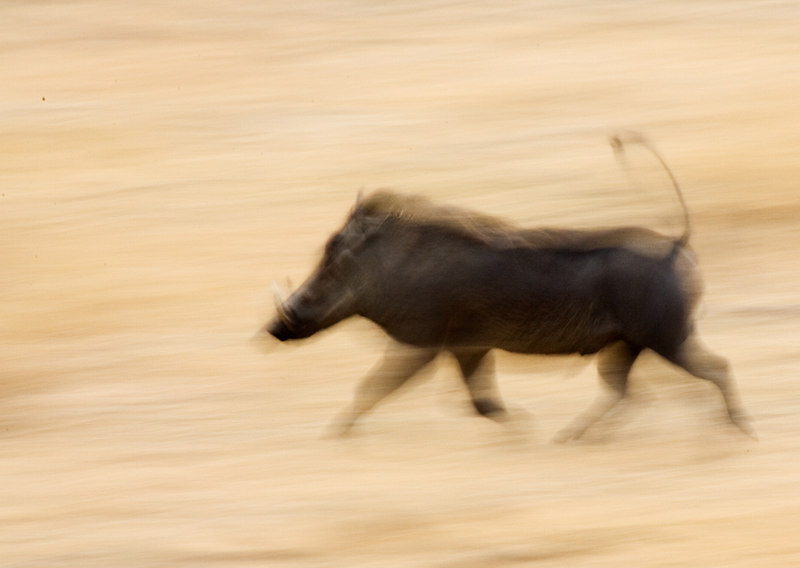 Warthog in motion
