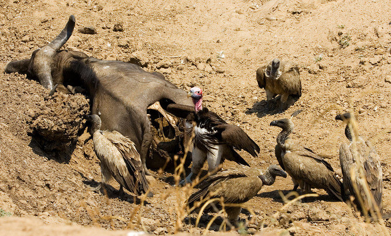 Buffalo kill with vultures